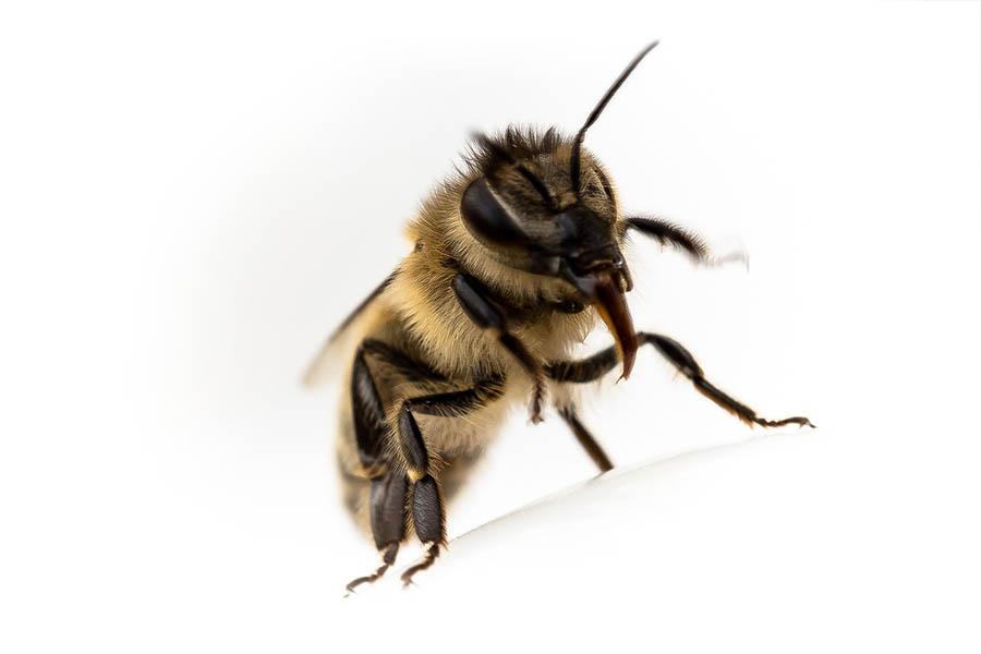 Van Ledden Ongediertebestrijding - Bijennest laten verwijderen - Bijen bestrijden (25)