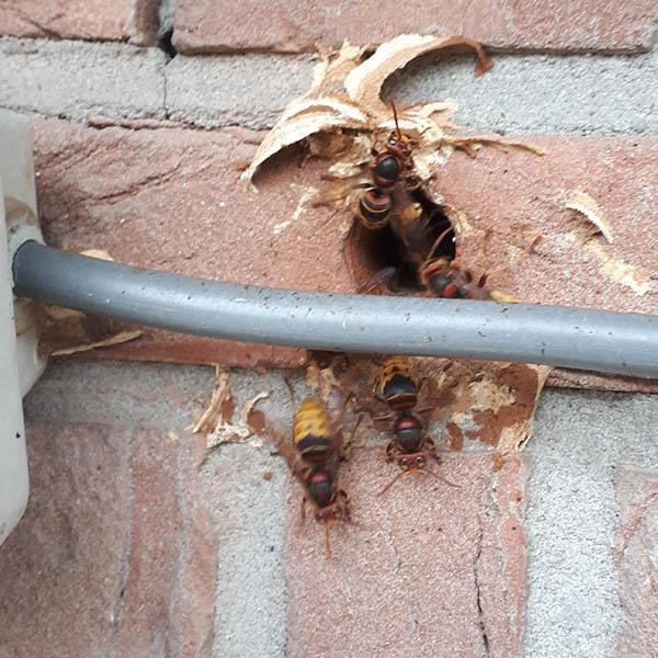 Van Ledden Ongediertebestrijding - Overlast van wespen door wespennest - 10
