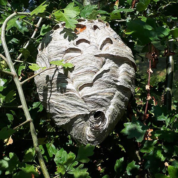 Van Ledden Ongediertebestrijding - Overlast van wespen door wespennest - 5