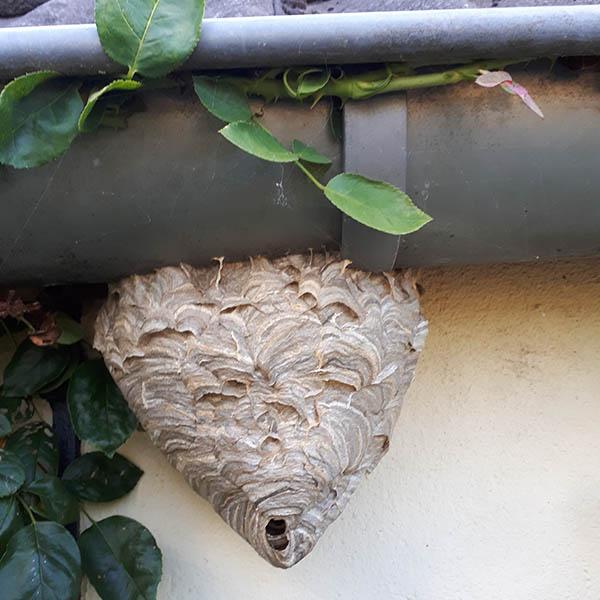 Van Ledden Ongediertebestrijding - Overlast van wespen door wespennest - 6