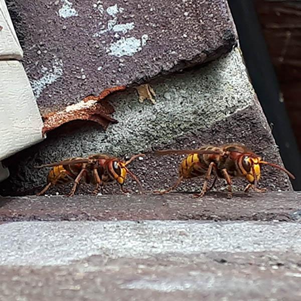 Van Ledden Ongediertebestrijding - Overlast van wespen door wespennest - 7 -hoornaars