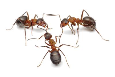 mieren-van-ledden-ongediertebestrijding-kevers-muizen-spinnen-ratten-maurik-gelderland