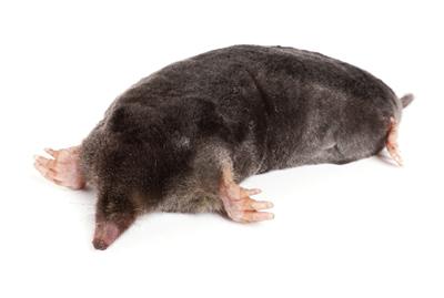 mollen-van-ledden-ongediertebestrijding-kevers-muizen-spinnen-ratten-maurik-gelderland