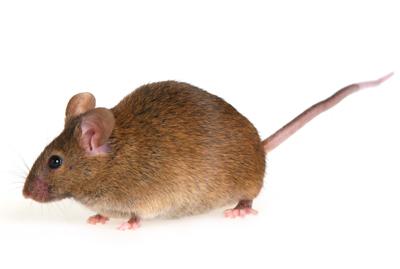 muis-van-ledden-ongediertebestrijding-kevers-muizen-spinnen-ratten-maurik-gelderland