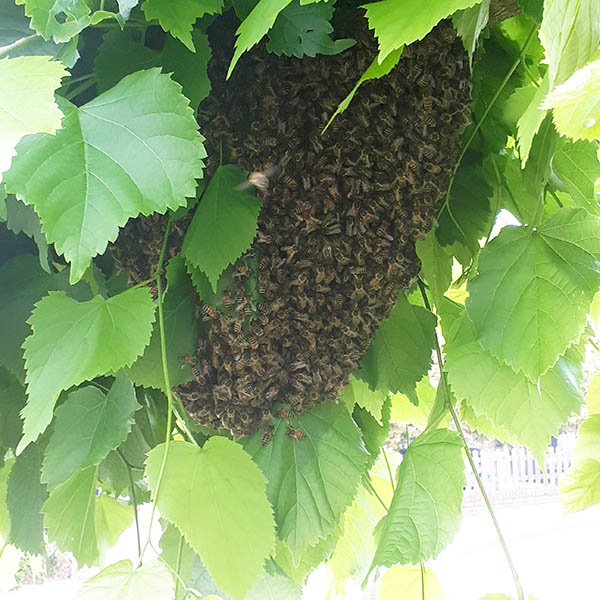 Van Ledden Ongediertebestrijding - Bijennest laten verwijderen - Bijen bestrijden (2)