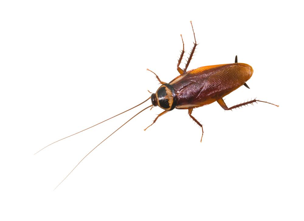 Van-Ledden-Ongediertebestrijding-Kakkerlakken-bestrijden-Kakkerlakken-in-huis-1.jpg