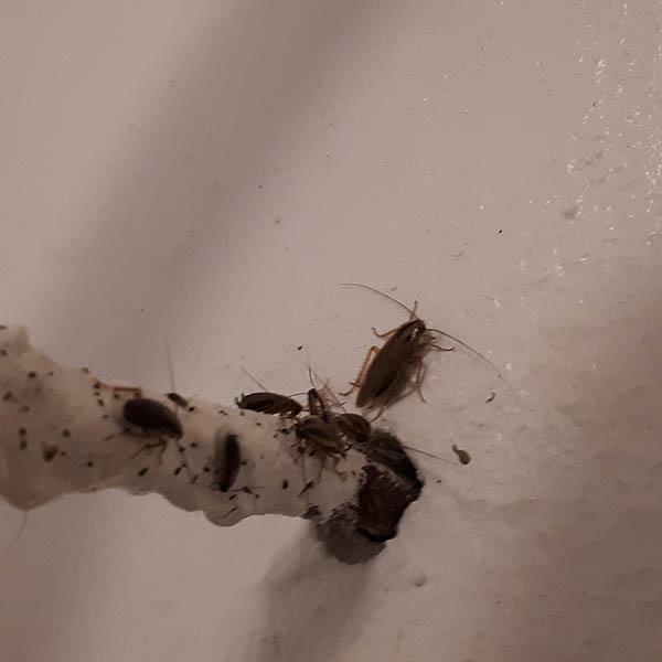 Van Ledden Ongediertebestrijding - Kakkerlakken bestrijden - Kakkerlakken in huis (5)