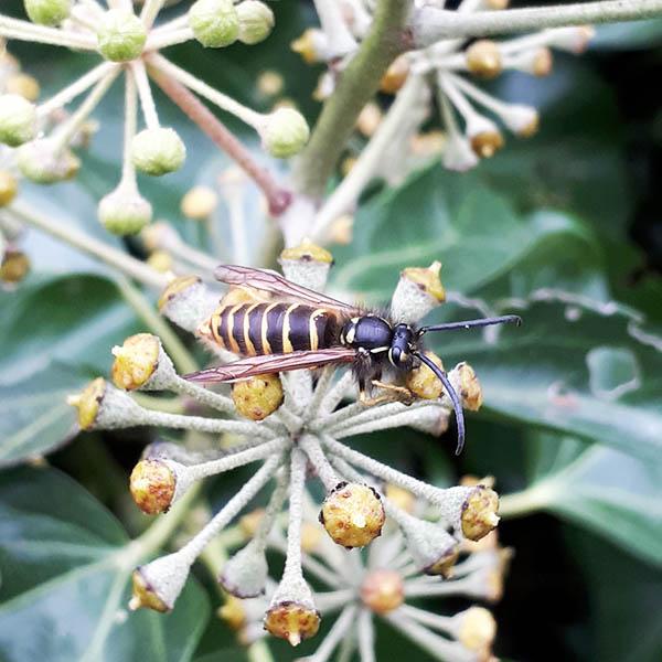 Van Ledden Ongediertebestrijding - Overlast van wespen door wespennest - 12