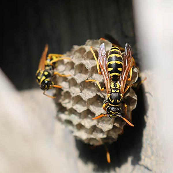 Van Ledden Ongediertebestrijding - Overlast van wespen door wespennest - 13