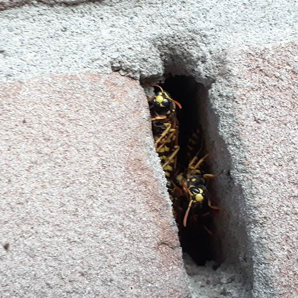 Van Ledden Ongediertebestrijding - Overlast van wespen door wespennest - 14