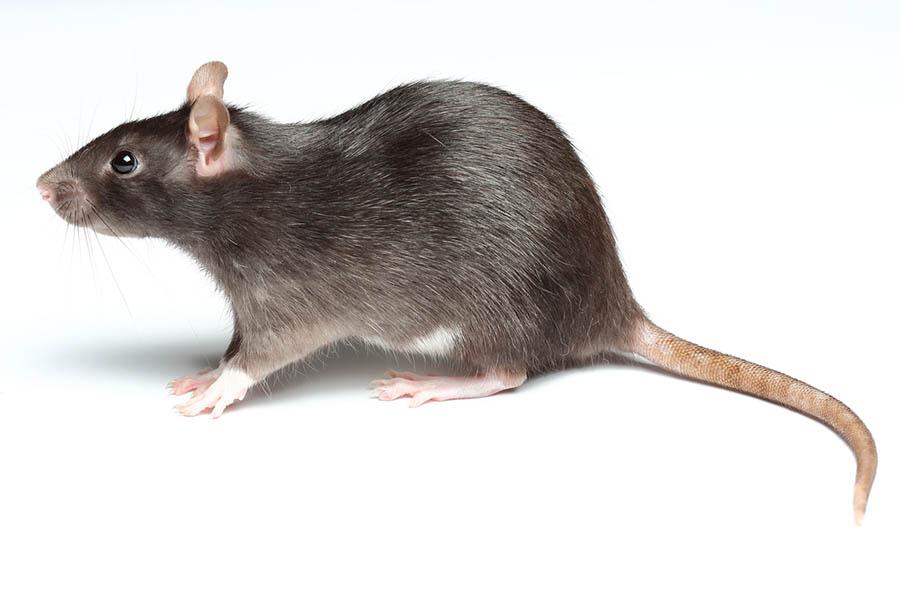 ratten-button-van-ledden-ongediertebestrijding-kevers-muizen-spinnen-ratten-maurik-gelderland 2