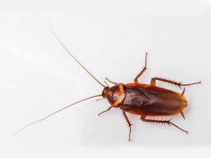 Van-Ledden-Ongediertebestrijding-Amerikaanse-kakkerlak.jpg