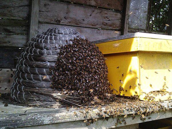 Van-Ledden-Ongediertebestrijding-Bijennest-laten-verwijderen-Bijen-bestrijden-1.jpg