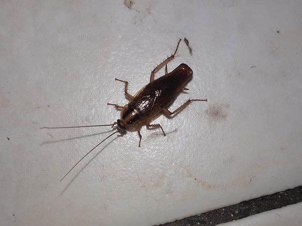 Van Ledden Ongediertebestrijding - Kakkerlakken bestrijden - Kakkerlakken in huis (10)